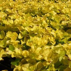 Vrbina penízková 'Goldilocks' - Lysimachia nummularia 'Goldilocks'