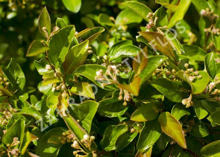 Skalník jamkatý - Cotoneaster foveolatus
