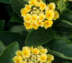 Libora měňavá 'Esperanta Lemon' - Lantana camara 'Esperanta Lemon'