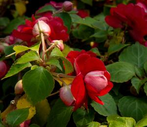 Netýkavka turecká 'Silhouette Red Star' - Impatiens walleriana 'Silhouette Red Star'