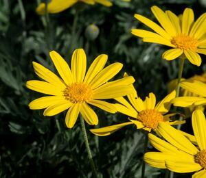Kopretina 'Sunshine Silver' - Euryops pectinatus 'Sunshine Silver'