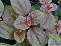 Drápkovka 'Cascade' - Centradenia hybrid 'Cascade'