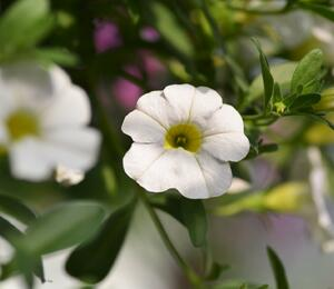 Minipetunie, Million Bells 'Sweetbells White' - Calibrachoa hybrida 'Sweetbells White'