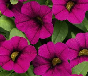 Minipetunie, Million Bells 'Sweetbells Velvet' - Calibrachoa hybrida 'Sweetbells Velvet'