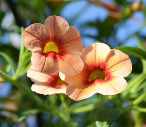 Minipetunie, Million Bells 'Hula Gold' - Calibrachoa hybrida 'Hula Gold'