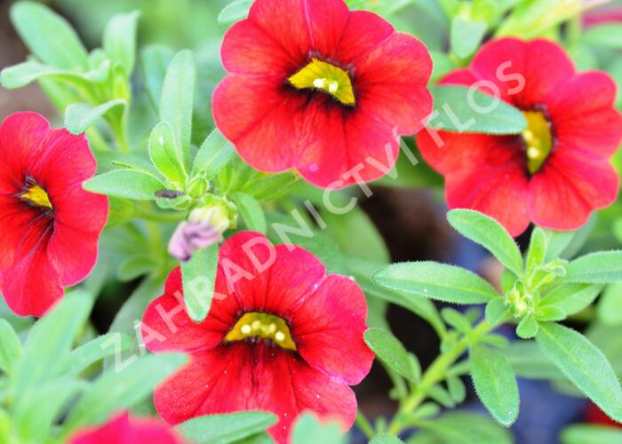 Minipetunie, Million Bells 'Sweetbells Deep Red' - Calibrachoa hybrida 'Sweetbells Deep Red'