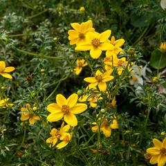 Dvouzubec prutolistý 'Golden Empire' - Bidens ferulifolia 'Golden Empire'