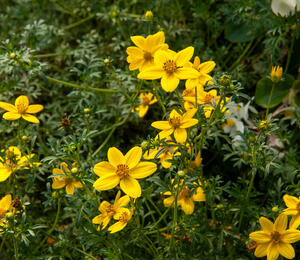Dvouzubec prutolistý 'Golden Empire' - Bidens ferulifolia 'Golden Empire'