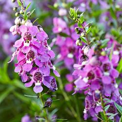 Angelonie úzkolistá 'Angelmist Dark Rose' - Angelonia angustifolia 'Angelmist Dark Rose'