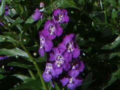 Angelonie úzkolistá 'Angelito Purple' - Angelonia angustifolia 'Angelito Purple'