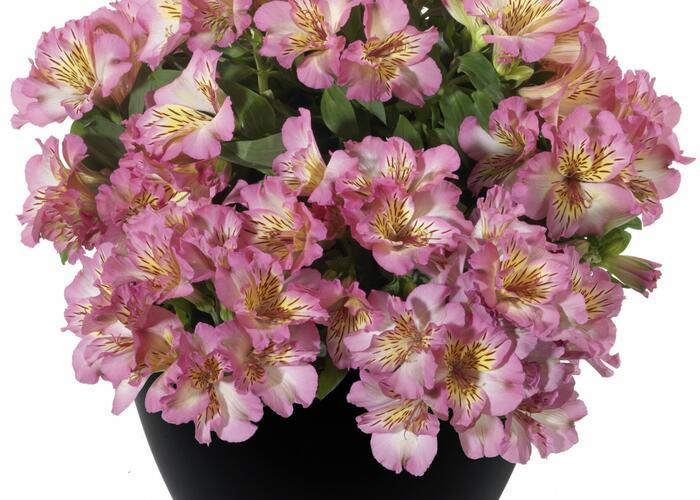 Alstromérie, boubelka 'Inticancha Sunshine' - Alstroemeria hybrida 'Inticancha Sunshine'