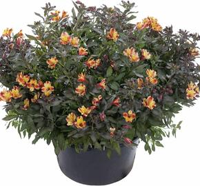Alstromérie, boubelka 'Indian Summer' - Alstroemeria hybrida 'Indian Summer'
