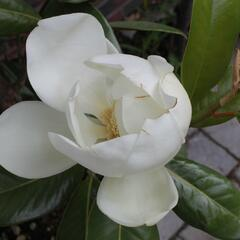 Šácholan velkokvětý 'Maryland' - Magnolia grandiflora 'Maryland'