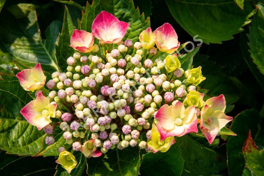 Hortenzie velkolistá 'Leuchtfeuer' - Hydrangea macrophylla 'Leuchtfeuer'