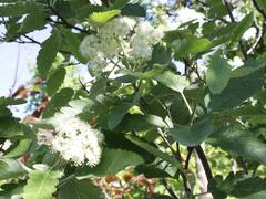 Jeřáb duryňský 'Fastigiata' - Sorbus thuringiaca 'Fastigiata'