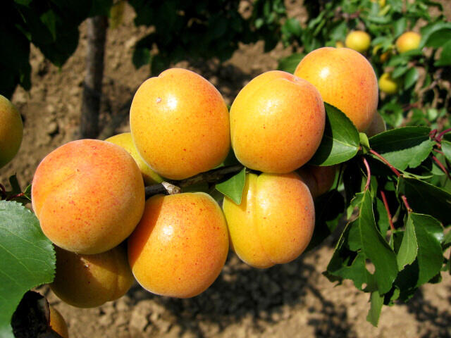 Meruňka - velmi raná 'Ledana' - Prunus armeniaca 'Ledana'
