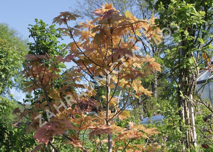 Javor klen 'Simon-Louis Freres' - Acer pseudoplatanus 'Simon-Louis Freres'