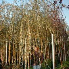 Vrba babylónská - Salix babylonica