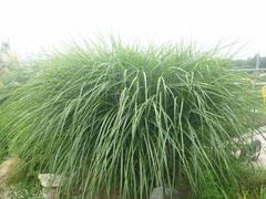 Ozdobnice čínská 'Grosse Fontaine' - Miscanthus sinensis 'Grosse Fontaine'