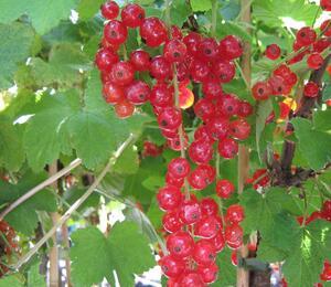 Rybíz červený 'Junifer' - Ribes rubrum 'Junifer'