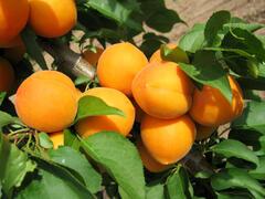 Meruňka středně raná 'Maďarská' - Prunus armeniaca 'Maďarská'