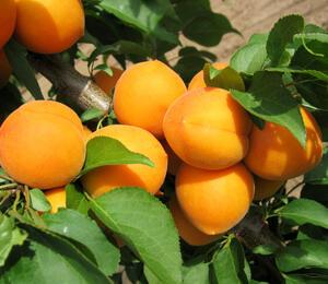 Meruňka - středně raná 'Maďarská' - Prunus armeniaca 'Maďarská'