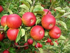 Jabloň zimní 'Rubín' - Malus domestica 'Rubín'