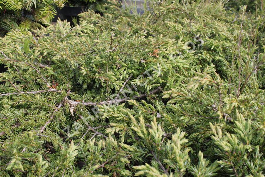 Jalovec obecný 'Repanda' - Juniperus communis 'Repanda'