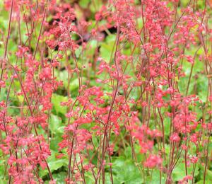 Dlužicha 'Coral Forest' - Heuchera sanguinea 'Coral Forest'