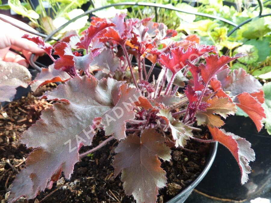 Dlužicha 'Melting Fire' - Heuchera americana 'Melting Fire'