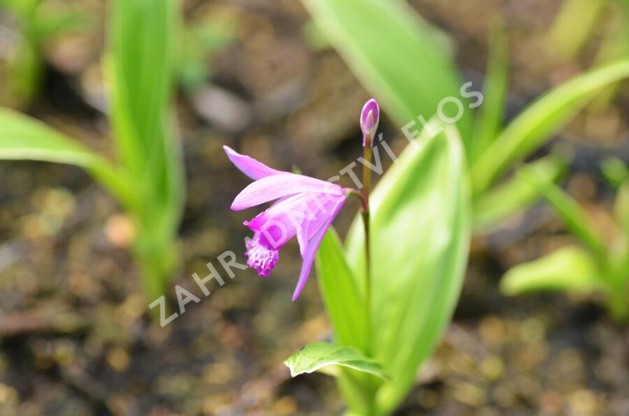 Orchidej vzpřímená - Bletilla striata
