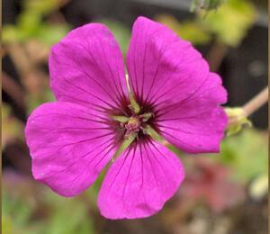 Kakost sivý 'Giuseppii' - Geranium cinereum 'Giuseppii'