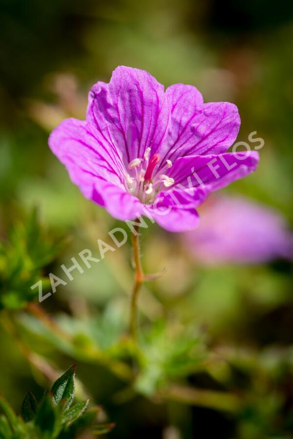 Kakost 'Blushing Turtle' - Geranium 'Blushing Turtle'