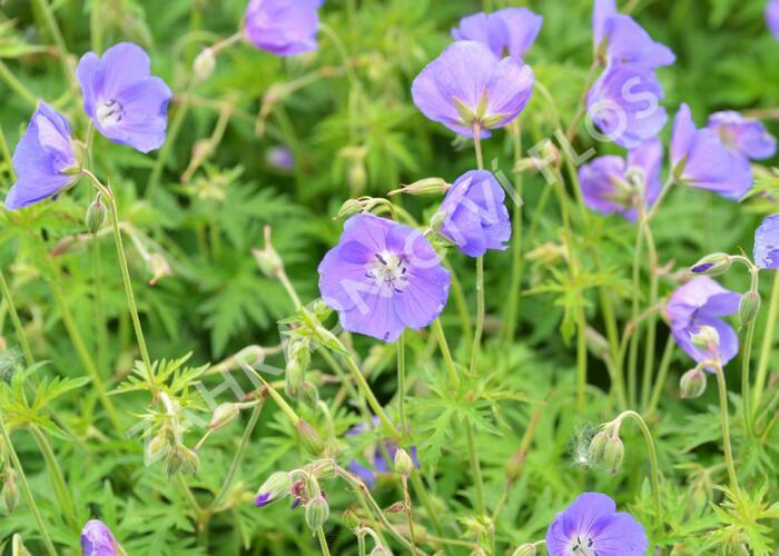 Kakost 'Eureka Blue' - Geranium 'Eureka Blue'