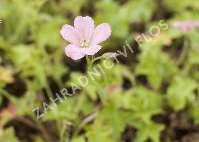 Kakost Endressův 'Wargrawe Pink' - Geranium endressii 'Wargrawe Pink'