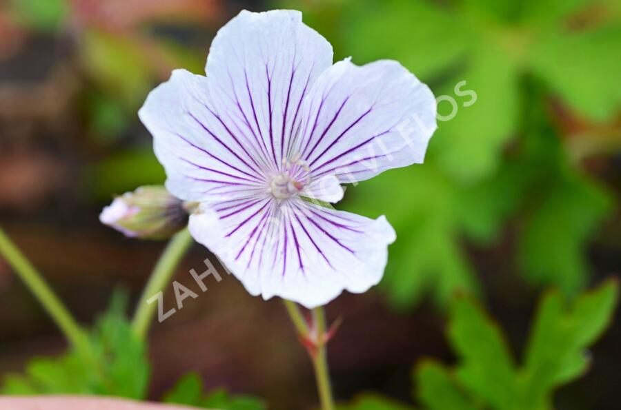 Kakost 'Crystal Lake' - Geranium wallichianum 'Crystal Lake'