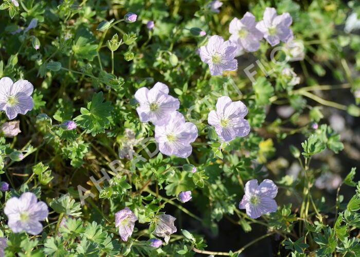 Kakost 'Apple Blossom' - Geranium lindavicum 'Apple Blossom'