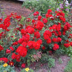 Růže mnohokvětá 'Roter Korsar' - Rosa MK 'Roter Korsar'