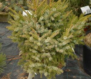 Smrk omorika 'Nana' - Picea omorika 'Nana'