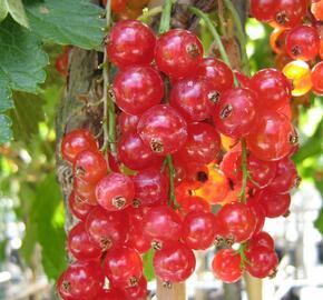 Rybíz červený 'Maraton' - Ribes rubrum 'Maraton'