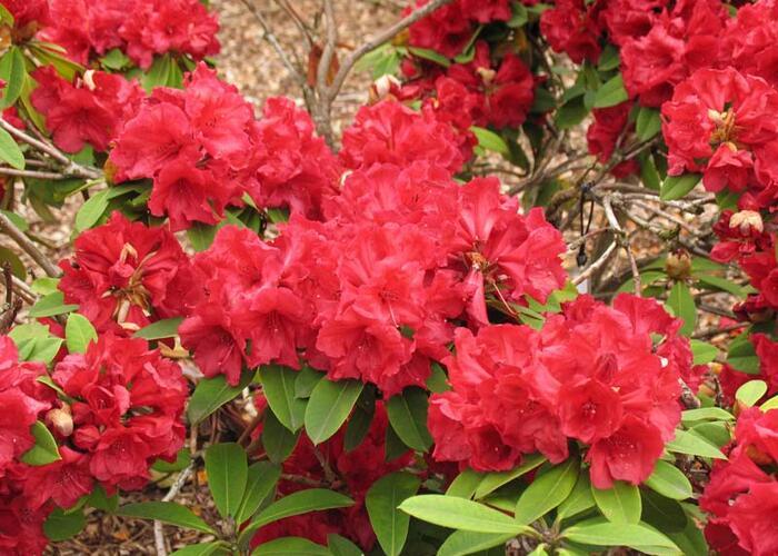 Pěnišník 'Lord Roberts' - Rhododendron 'Lord Roberts'