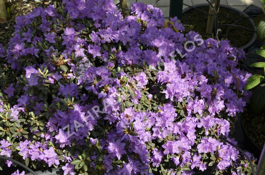 Pěnišník 'Ramapo' - Rhododendron 'Ramapo'