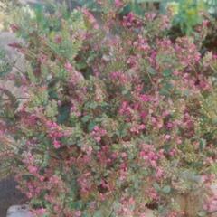Dobromysl 'Hopley' - Origanum laevigatum 'Hopley'