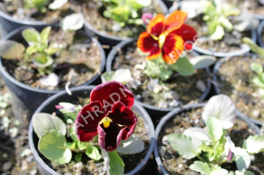 Maceška zahradní 'Colossus Red with Blotch' - Viola wittrockiana 'Colossus Red with Blotch'