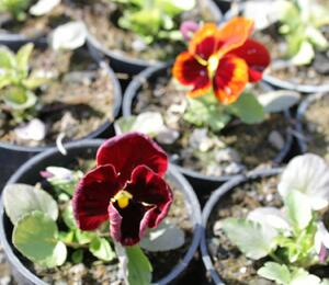 Maceška zahradní 'Colossus Red with Blotch' - Viola wittrockiana 'Colossus Red with Blotch'