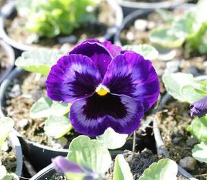 Maceška zahradní 'Colossus Neon Violet' - Viola wittrockiana 'Colossus Neon Violet'