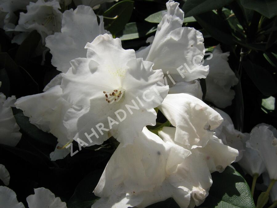 Pěnišník 'Silberwolke' - Rhododendron (Y) 'Silberwolke'