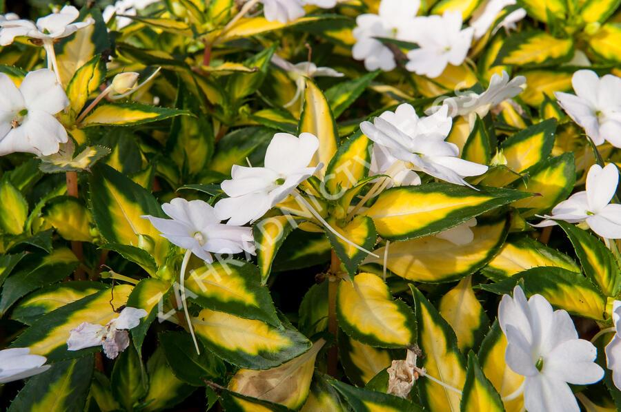 Netýkavka 'Sunpatiens Spreading White' - Impatiens Neu-Guinea 'Sunpatiens Spreading White'