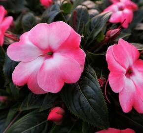 Netýkavka 'Harmony Pink Cream' - Impatiens Neu-Guinea 'Harmony Pink Cream'