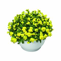 Violka růžkatá 'Endurio Pure Yellow' - Viola cornuta 'Endurio Pure Yellow'